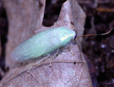 panchlora speckled