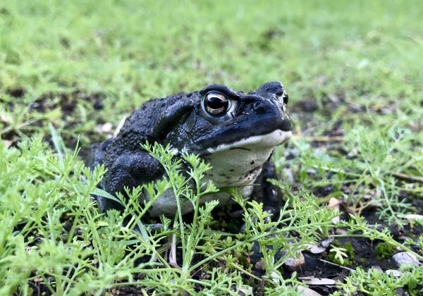 sonoran desert toad incilius alvarius