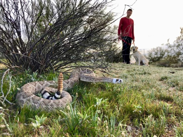 rattlesnake by bush with dog in background