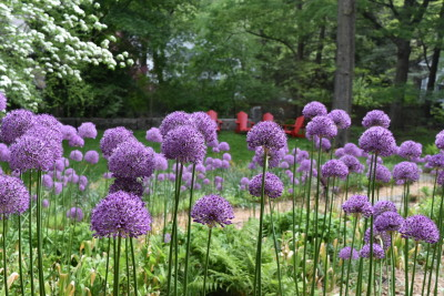 Plethora of purple allium filter views of the lower lawn and red chairs.