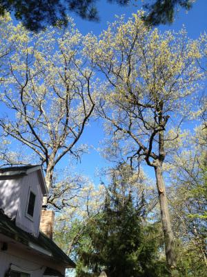 Baby Oak Leaves...