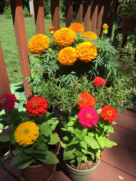Zinnia and Marigolds