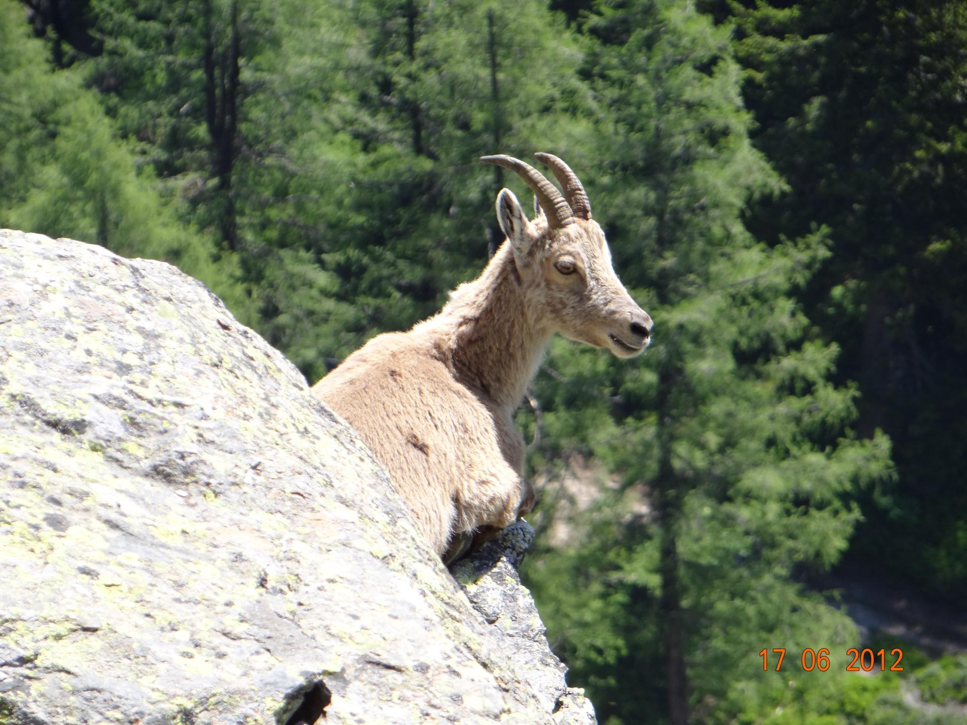 ibex sunbathing brenta dolomite