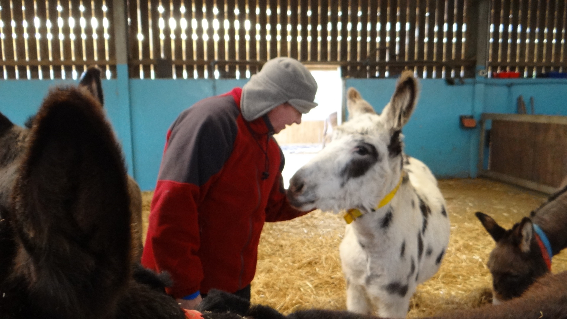 Donkey Care work experience at The Donkey Sanctuary Charity, Sidmouth, Devon