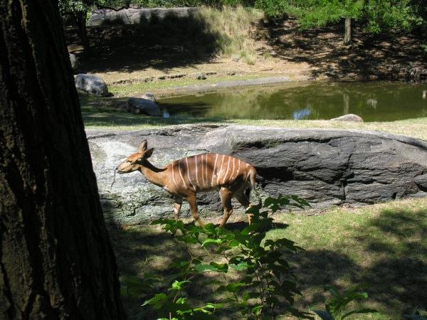 Antelope??