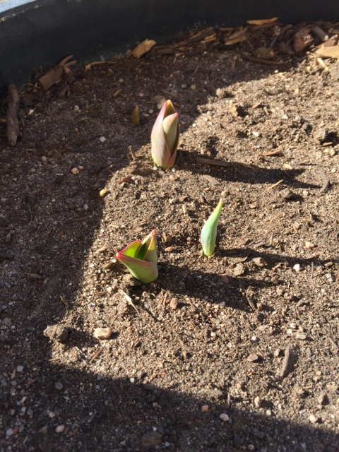 Tulips are starting to come up!