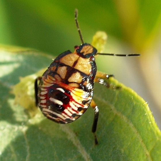Podisus caterpillar predator