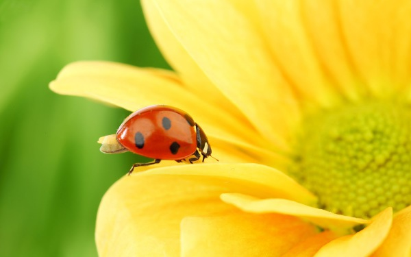 ladybug aphid predator