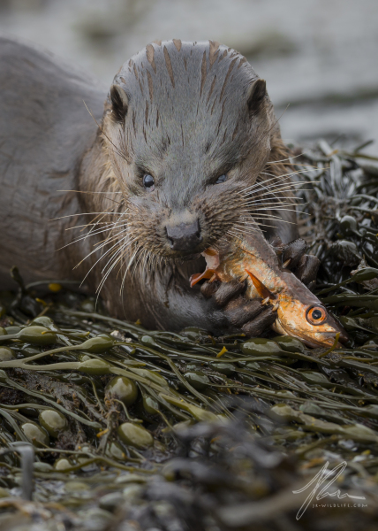 Fish Eye Otter