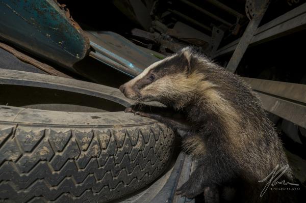 Junk Yard Badger