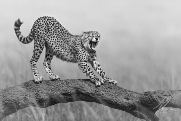 Cheetah Stretch