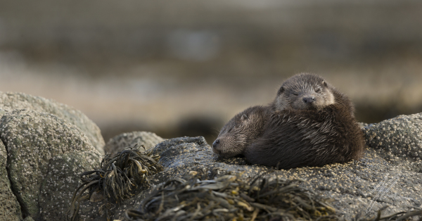 Otter Cubs Entwined