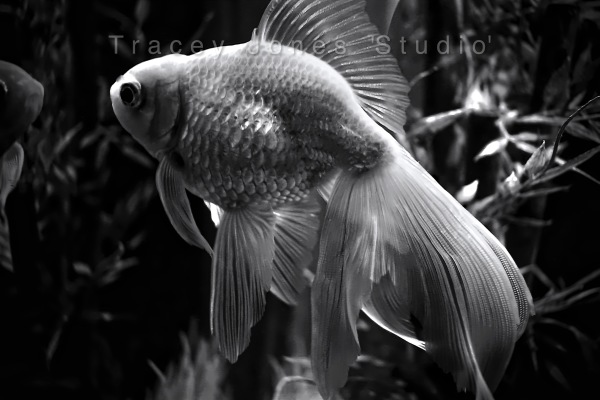 ...the goldfish 1.