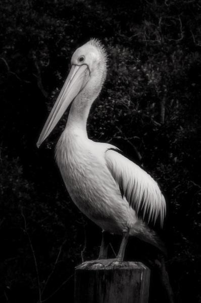 ...the pelican 2.