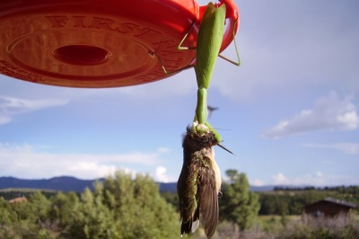 HUMMINGBIRD BRAIN EATING PRAYING MANTIS!
