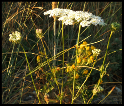 Queen Ann's Lace: seed to flower