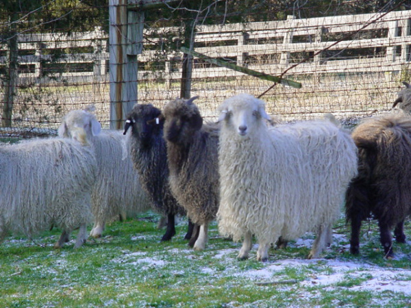 Colored Angora Goats