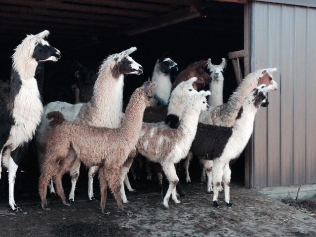 The Llama Herd