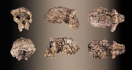 Sahelanthropus Tchadensis.....7  million year old Fossil in Africa