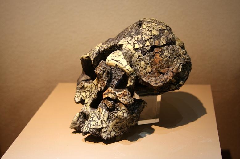 Kenyanthropus Platyops......3.8 Million years Old Found in Kenya