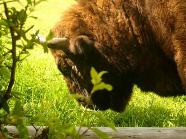 Romania, best places to visit in Romania, travel, European bison reservation, Hateg