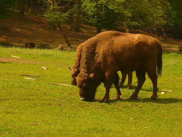 Romania, sightseeing, best places to visit in Romania, travel, European bison reservation, Hateg