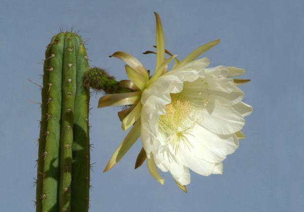 Traditionally Sacred Cacti