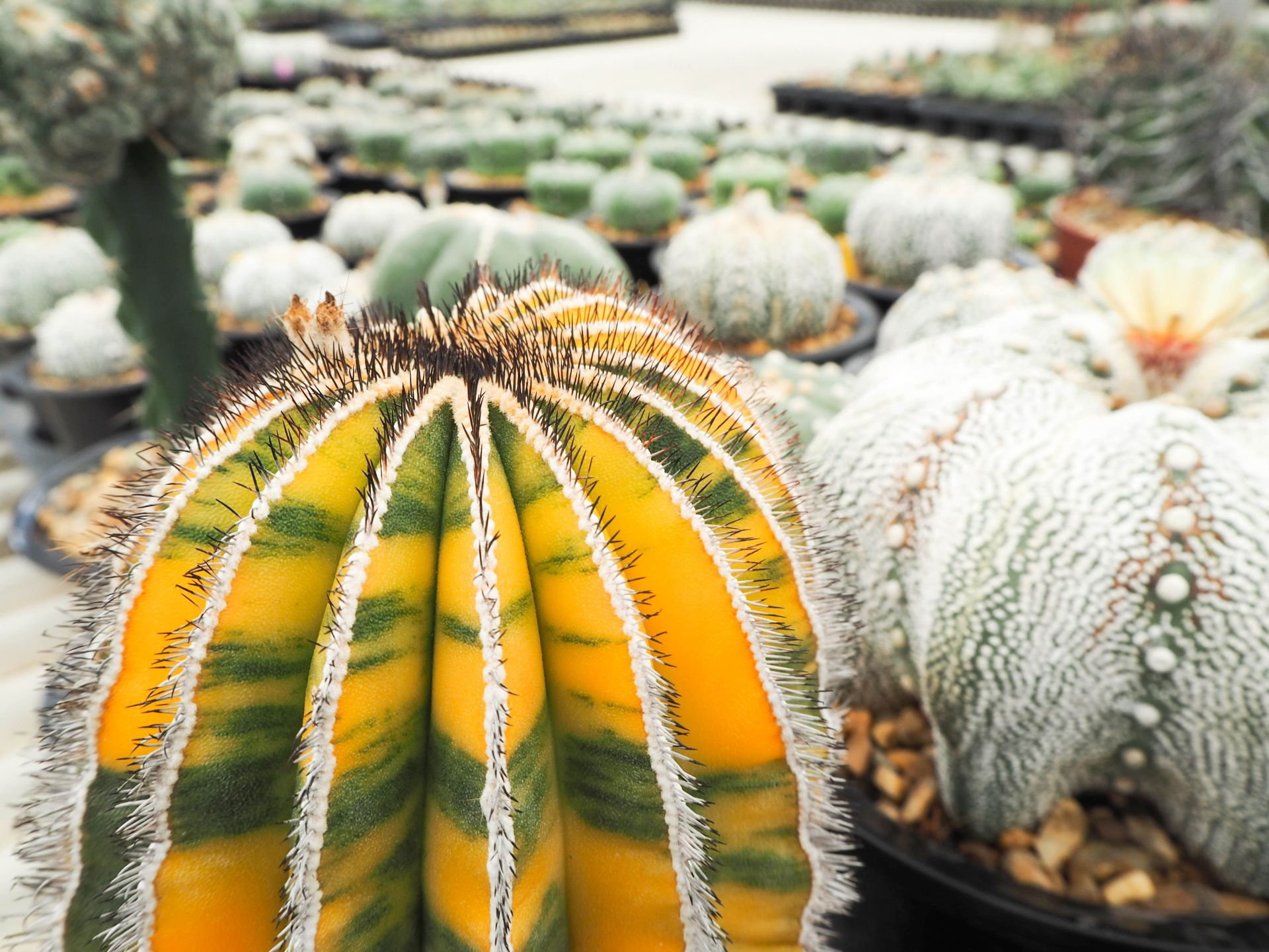 Rare Cacti