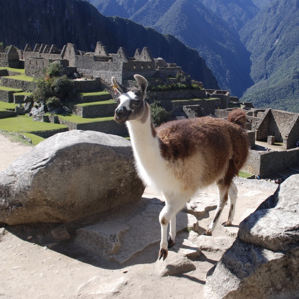 High Llama - Machu Picchu