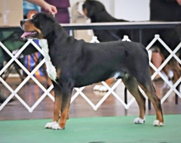 GCH CedarCoves Sirens Trick Cent Lincoln