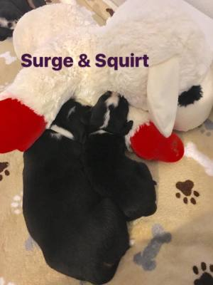 Surge (gray) boy 2 weeks