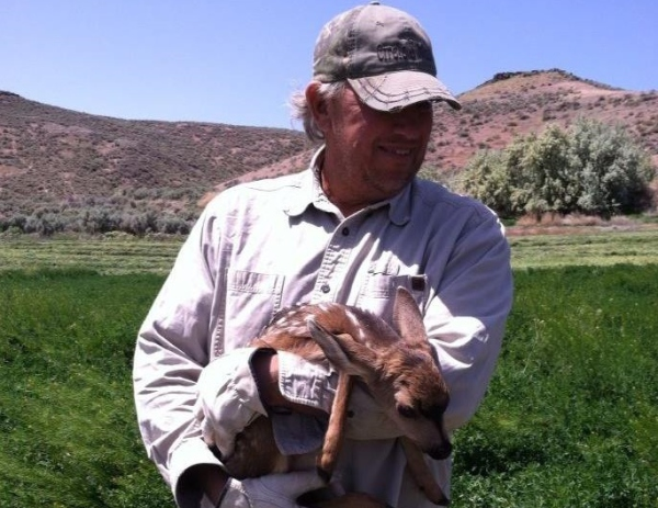 Moving fawn to safety with doe out of harms way in hay field being cut