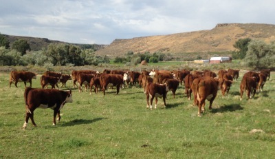 Pictures pertaining to our pure bred polled hereford family cattle business