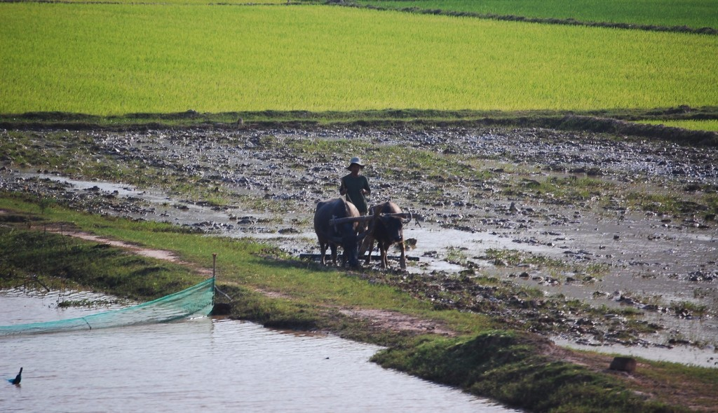 Man plowing a muddy field with 2 bulls