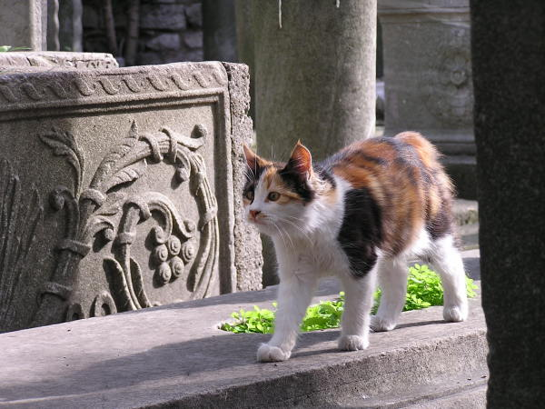 Well-fed cats adorn the streets and graveyards of Istanbul. Turkey: annmariemershon.com