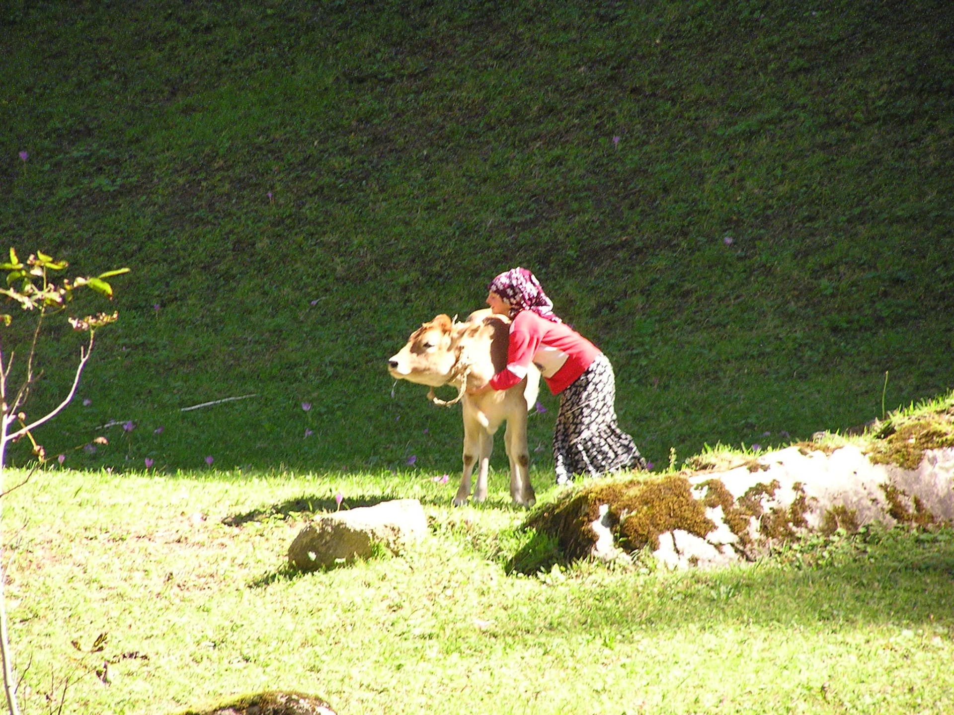 We were charmed by this girl herding her calf through  mountain pastures. Trabzon, Turkey, chap 43, You must only to love them. http://mershon.wordpress.com