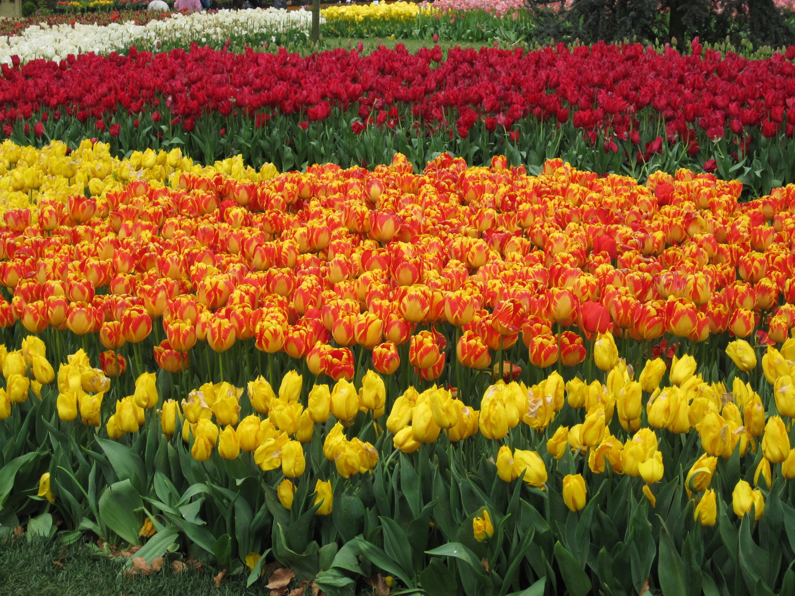 Never in my life have I seen floral displays like the tulips in Emirgan Park. Istanbul, Turkey: chapter 64, You must only to love them. http://mershon.wordpress.com