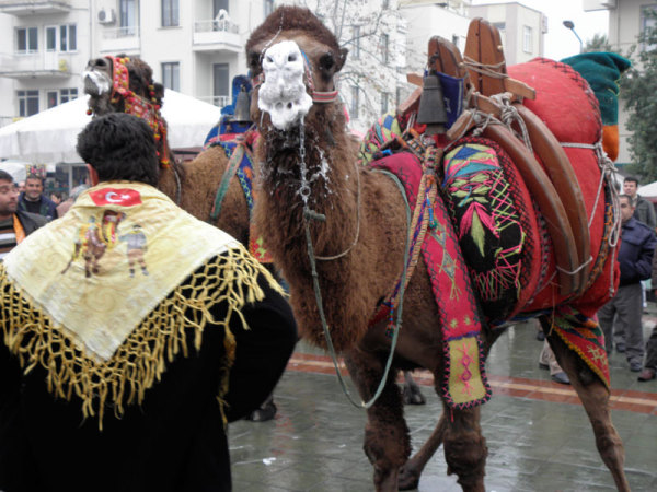 In spite of a drizzle, the camels frothed with excitement over the coming events of camel wrestling. Selçuk, Turkey: chapter 75, You must only to love them. http://mershon.wordpress.com