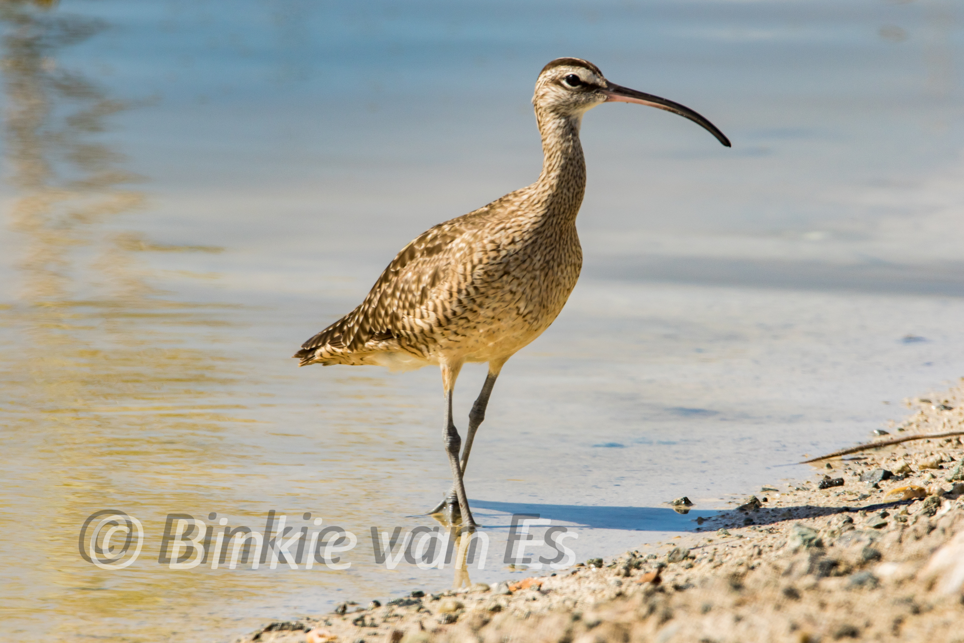 Title Whimbrel , a bird that starts to visit Sint Maarten more and more