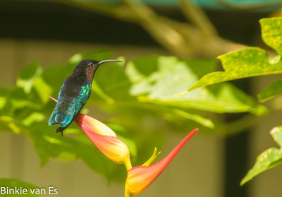 Purple Throated Carib hummingbird