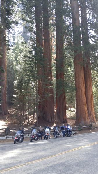 Gaint Sequioa's in California
