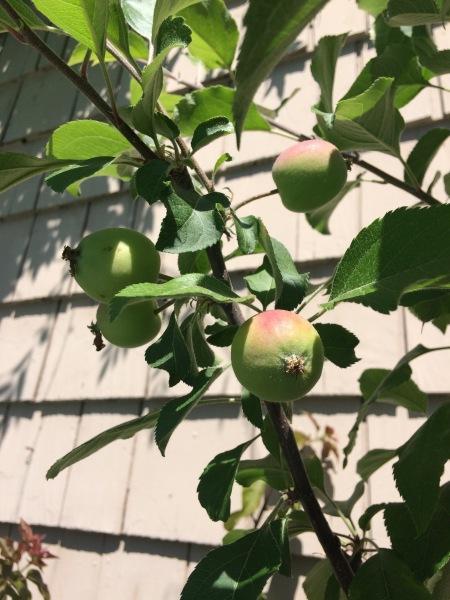 Pacific Groves Fruit Tree Descriptions