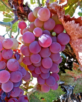 Pacific Groves Table Grapes