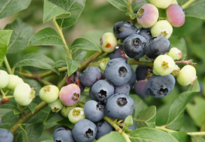 Pacific Groves Half-High Blueberries