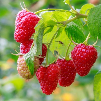 Pacific Groves Red Raspberries