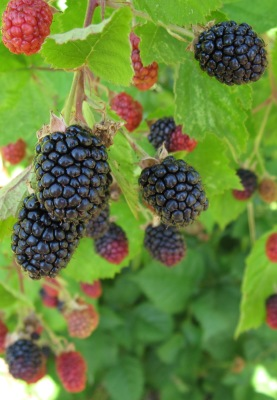 Pacific Groves Blackberries