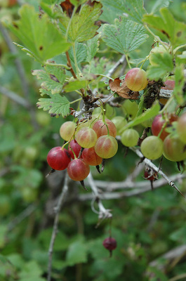 Pacific Groves Gooseberries
