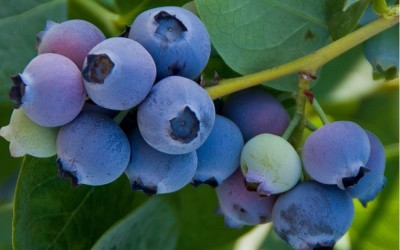Pacific Groves Southern Highbush Blueberries