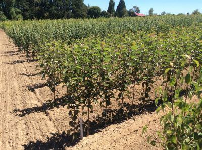 Pacific Groves European Pear Trees