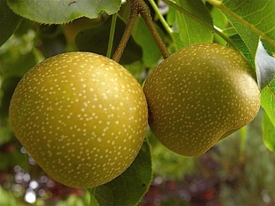 Pacific Groves Asian Pear Tree